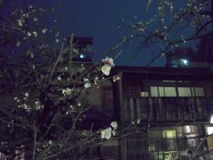 祇園の梅が咲き始めているのに気がつきました。