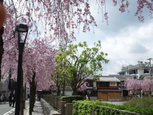 静かな桜スポットです